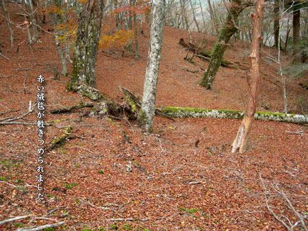 11月11日 赤い絨毯が敷きつ.jpg